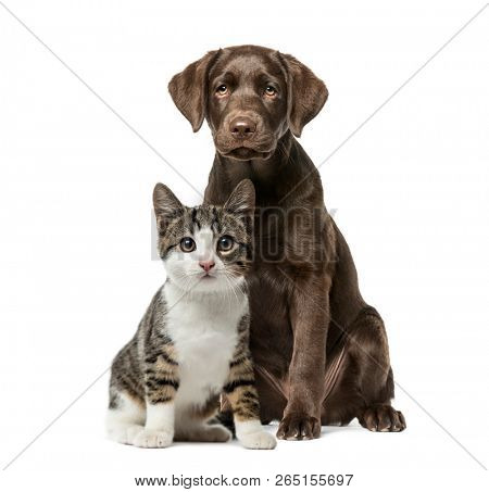 poster of Puppy Labrador Retriever sitting, kitten domestic cat sitting, in front of white background