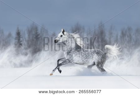 Purebred grey arabian horse galloping