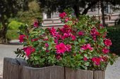 Magenta Flowers In A Weathered Planter Made Of Wood poster
