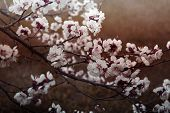 Close Up Of The Blooming Branch Of The Fruit Tree. Beautiful Nature Scene With Blooming Tree. Abstra poster