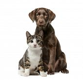 Puppy Labrador Retriever sitting, kitten domestic cat sitting, in front of white background poster