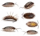 stock photo of woodlouse  - Collage of Common woodlouse - JPG