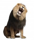 Lion, Panthera leo, 8 years old, roaring in front of white background