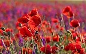 Red Poppy Field. Scarlet Poppies Of Issyk-kul Lake. Poppy Occurs In Temperate, Subtropical And Less  poster