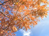 Natural Backlit Colorful Red Maple Leaves In Fall Season At Dallas, Texas poster