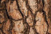 Brown Colored Textured Bark Of The Old Pine Tree In The Autumn Forest. Background Of Pine Bark. Pine poster