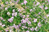 Meadow Flowers, Meadow Herbs. Astragalus Danicus, Known As Purple Milk-vetch, Is A Species Of Flower poster