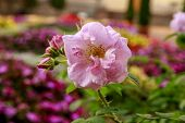 Macro Photo Of Beautiful Blooming Pink Rose. Close-up Of The Flower On Blurred Colorful Background.  poster