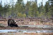 Wild Brown Bear Looking For Food In The Taiga In Ealy Spring. poster