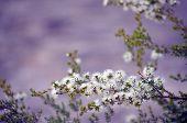 White, Honey-scented Flowers Of The Australian Native Kunzea Ambigua, Tick Bush, Growing On Little M poster