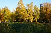 White Birch Trees With Yellow Foliage Stand Behind Tall Green Grass. Autumn, The Foliage Turned Yell poster