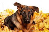 pic of german-sheperd  - German Shepherd puppy - JPG