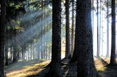 Sunrise In The Forest In Spring With Sunbeams Sunlight poster