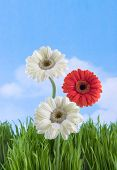 pic of gerbera daisy  - three gerbera daisies against a blue skyspring is coming - JPG