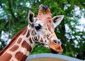 The Giraffe (giraffa) Is A Genus Of African Even-toed Ungulate Mammals, The Tallest Living Terrestri poster