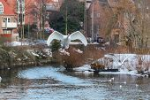 Swans Soaring From The Water Of A River In Odense, Denmark poster