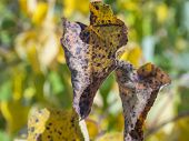 Close Up Infected Apple Tree Leaves, Ill Leaf Of Apple Scab Disease, Bacterial Scorch. Illness Of Ga poster