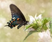 Dreamy image of a Pipevine Swallowtail butterfly feeding on a Hibiscus flower