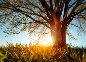 stock photo of greenery  - Spring tree in a meadow with grass at sunset - JPG