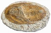 foto of paleozoic  - Fossil of prehistoric animals isolated on white background - JPG