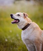 image of mongrel dog  - Beige dog - JPG