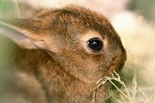 stock photo of dwarf rabbit  - Rabbit feeding hay - JPG