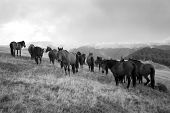 pic of wild horses  - Black and white photo of some horses - JPG