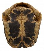 pic of testudo  - Turtle Testudo hermanni tortoise bottom from under - JPG