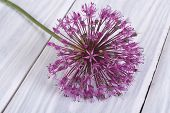 one purple flower decorative onion Allium
