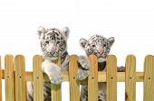 stock photo of white tiger cub  - white bengal tiger and wooden fence isolated on white background - JPG