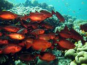 stock photo of bigeye  - A school of red bigeyes swimming against current - JPG