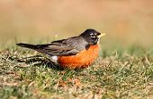 picture of robin bird  - American Robin  - JPG