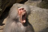 picture of hairy tongue  - Baboon making a lot of noise with his mouth wide open - JPG