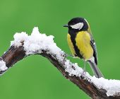 picture of great tit  - Great tit Parus major in the snow.