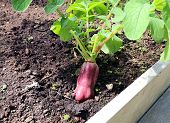 foto of oblong  - Ripe oblong red radish in the garden - JPG