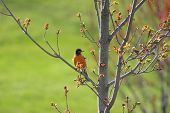 picture of robin bird  - Robin bird on the branch of a tree - JPG