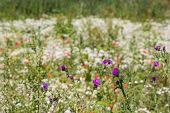 image of welts  - Budding and flowering Spiny Plumeless Thistle and Corn Sow Thistle plants against their blurred natural background with a large variety of other wildflowers - JPG
