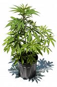 picture of mary jane  - Medical Marijuana plant in a black plastic 1 gallon grow pot - JPG