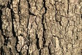 image of termite  - Old oak tree bark for natural textured background - JPG