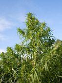 Bushes Marijuana poster