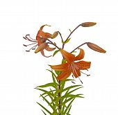 stock photo of asiatic lily  - Beautiful asiatic orange lily flowers on white background it is isolated - JPG