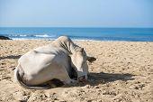 image of sea cow  - Cow sunbathing on the beach Goa India - JPG