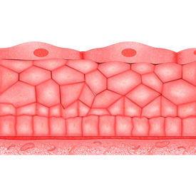 picture of mucosa  - Epithelium is one of the four basic types of animal tissue - JPG