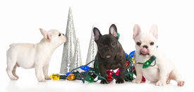 image of puppy christmas  - christmas puppies  - JPG
