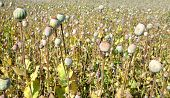 picture of opiate  - Dry poppy heads in field close up - JPG