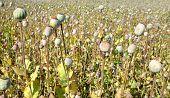 foto of opiate  - Dry poppy heads in field close up - JPG