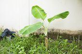 stock photo of banana tree  - growth of banana tree in the garden - JPG