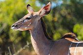 stock photo of greater  - Greater kudu close up Chobe Botswana Africa - JPG