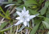 picture of edelweiss  - Edelweiss  - JPG