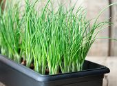 image of planters  - green onion growing in black plastic seedling or planter box - JPG